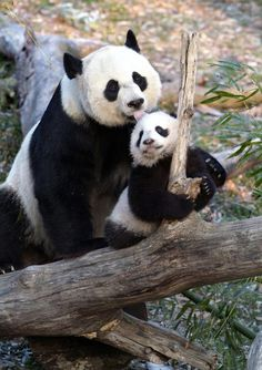 Panda and baby from the National Zoo.  Bao Bao