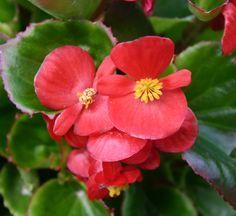 Ambassador Scarlet Red Begonia