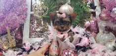 Some of the Tiniest, Most Beautiful Teacup Yorkie Puppies in the World! Teacup Yorkie and Small Toy Yorkies for Sale. Teacup Yorkie For Sale, Yorkies For Sale, Cute Dogs And Puppies, Puppies For Sale, Yorkie Puppy, Pomeranian Dogs, Teacup Pomeranian, Micro Yorkies, Cute Puppy Pictures