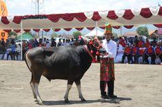 Ratusan ekor Sapi, Kerbau dan Kuda Poni dari 24 kecamatan se Kabupaten Sumbawa turut ambil bagian Kontes Ternak yang diselenggarakan