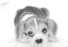 Images For > How To Draw A Realistic Beagle