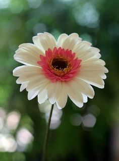 {I love the beautiful coloring of this gumpaste Gerbera Daisy by cakedeluxebysusy} Sugar Paste Flowers, Icing Flowers, Fondant Flowers, Clay Flowers, Edible Flowers, Paper Flowers, Fondant Flower Tutorial, Sunflowers And Daisies, Gerbera Daisies
