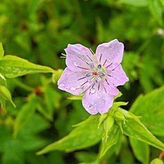 schattig, 30 -50 cm h, blüht 5 - 10, Geranium nodosum 'Svelte Lilac' -- Knotiger Storchschnabel