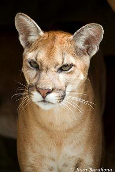 Beautiful Puma (by juan-barahona)