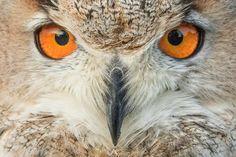 eagle owl-3474