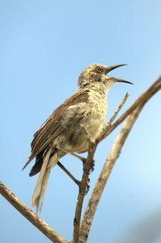 Mocking Bird Mocking Birds, Little Birds, Bird Feathers, Arkansas, Mississippi, Animals, Animales, Small Birds, Animaux