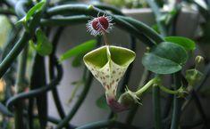 A planta em si é uma espécie de cipó. O que a torna excepcional são as flores: ocas por dentro, suas paredes internas são repletas de filamentos, que apontam para baixo e dificultam a saída de moscas polinizadoras. Alguns acham que a estranha flor da Ceropegia haygarthii lembra um guarda-chuva invertido, outros a chamam de flor-palhaço.