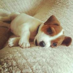 Uplifting So You Want A American Pit Bull Terrier Ideas. Fabulous So You Want A American Pit Bull Terrier Ideas. Terriers, Terrier Puppies, Bull Terrier Dog, Cute Puppies, Cute Dogs, Dogs And Puppies, Maltese Puppies, Doggies, Jack Russell Puppies