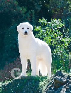 Tanner the beautiful Kuvasz! Photo by Derek Glas.