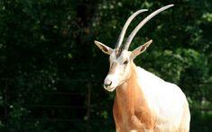 Goats, Animals, Animales, Animaux, Animal Memes, Animal, Goat, Animais, Dieren