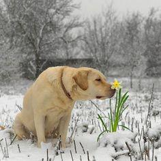 Pet Dogs, Pets, Fur Babies, Winter, Labrador Retriever, Photography, Animals, Animales, Winter Time