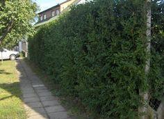 Fast Growing Hedge, Hedges, My Dream Home, Sidewalk, Nature, Plants, Outdoor, Walkway, Outdoors