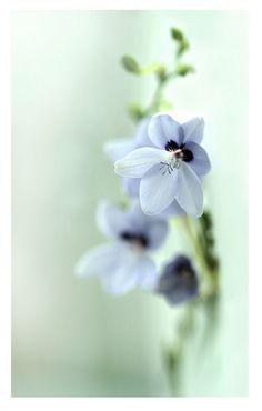 anomatheca laxa blue - steffi