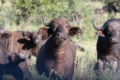 Water Buffalo, Kruger National Park by Kleinz1, via Flickr