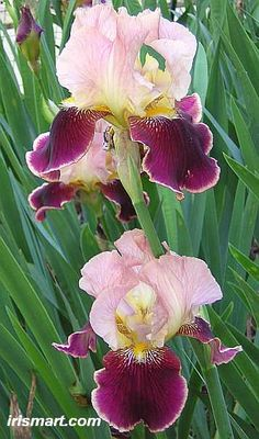 Burgundy Party Tall Bearded Iris Height 36 in Zone 3 - 9 Iris Flowers, Exotic Flowers, Amazing Flowers, My Flower, Flower Art, Planting Flowers, Beautiful Flowers, Bearded Iris, Bearded Men