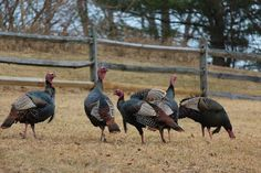 Wild turkeys - a common sight in our yard. Turkey season or not, I think we should be able to shoot them.they are trespassing after all. Turkey Pics, Tom Turkey, Wild Turkey, Turkey Art, Thunder Chicken, State Birds, Call Of The Wild, Turkey Hunting, Animal Games