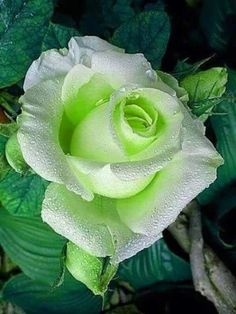Shade Garden Flowers And Decor Ideas Rosa Perfecta Beautiful Rose Flowers, Pretty Roses, Love Rose, Exotic Flowers, Green Flowers, Amazing Flowers, Yellow Roses, Red Roses, Beautiful Flowers