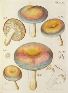 Jacob Christian Schaeffer -- Tab. 93 -- Botanical Plates -- RHS Prints
