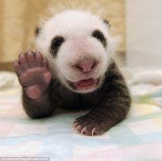 panda 「みんな元気~?」と言わんばかりに陽気に手を振る赤ちゃんパンダが激写される