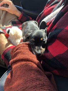 Dachshund Breed, Wire Haired Dachshund, Dachshunds, Doggies, Best Puppy Food, Best Puppies, The Perfect Dog, Unique Animals, Weiner Dogs