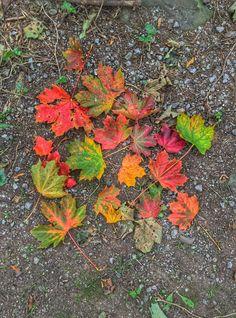 Autumn leaves, Newbridge Autumn Leaves, My Photos, Plants, Fall Leaves, Autumn Leaf Color, Flora, Plant, Planting