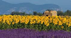 Lavender and sunflower setting in provence, france. Image shows a typical colorful landscape in provence, france. a sunflower field is combined with a lavender field in the foreground and a neglected Aix En Provence, Provence France, Provence Lavender, Sunflower Fields, Lavender Fields, Lavander, Lavender Flowers, Yellow Flowers, French Countryside