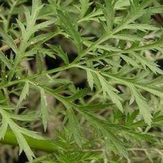 OLYMPUS DIGITAL CAMERA Olympus Digital Camera, Herbs, Plants, Herb, Planters, Plant, Spice, Planting