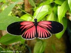 exotic butterflies from