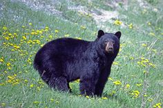 Black Bear one of my biggest fears..bears, oh my!