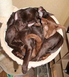 Cinnamon  and Havana Oriental Shorthair Cats Napping. I love the rich color on these guys!