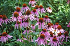 Conflowers – Purple coneflowers on a sunny day.