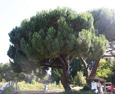 Pinus pinea   Italian stone pine
