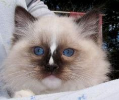 Ragdoll kitten- this is what my kitten is. So precious