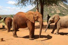 Nach ihrer Ankunft in Ithumba wird Orwa von den anderen Elefantenwaisen begrüßt.  Bild: (c)DSWT
