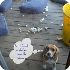 Goofy Monkeys: Beagle Shaming #3