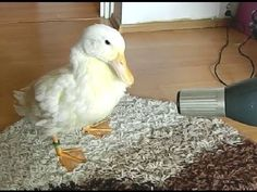 Video Clip: Ducks are Friends Not Food ~`*`~ This is another unreasonably adorable home video of the same little rescued duck pet... now all grown up. <3