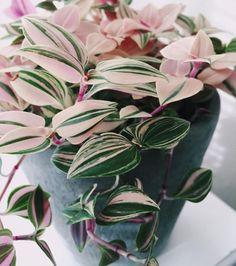 Plantes à motifs : Tradescantia Tricolore (sous-variété de Misères)