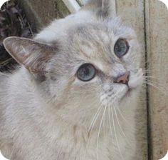 Siamese Cat for adoption in Mount Airy, North Carolina - Caili