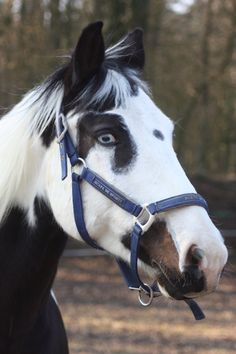 My Paint Horse, Adieus, has git two blue eyes My Beautiful Paint Horse Horses And Dogs, Cute Horses, Pretty Horses, Beautiful Horse Pictures, Beautiful Horses, Animals Beautiful, American Paint Horse, American Quarter Horse, Horse Markings