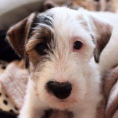 Charlie 11 weeks - Jack Russel Terrier Photo: Karianne Ramstad