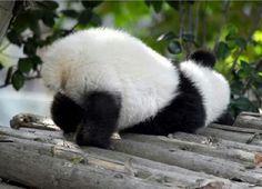 Cute Little Animals, Cute Funny Animals, Panda Images, Baby Panda Bears, Panda Art, Pet Rocks, Funny Illustration, Fluffy Animals, Cute Panda