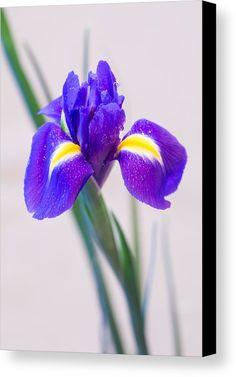 Wonderful Iris With Dew Canvas Print by Yana Reint #YanaReint #YanaReintFineArtPhotography #FineArt #Canvas #Prinrs #Homedecor #Artforhome #Iris  #flowers