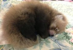 3 wk old male Red Panda is power napping. He lives in Zoo Boise.