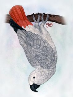 Toby, Congo African Grey, watercolor on paper Parrot Drawing, Parrot Painting, Senegal Parrot, African Grey Parrot, Scratchboard, Tropical Birds, Animal Paintings, Bird Art, Mosaic Art