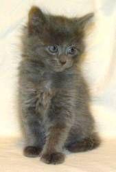 Cutie is an adoptable Nebelung Cat in Houston, TX. Cutie. Birthdate: March 15, 2013...