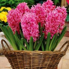 Tulip nok s m s for Hydroponics mesa az