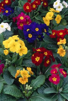 lovely colors of primroses
