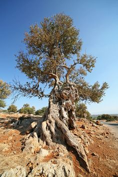 A very old olive tree - Island of Crete, Greece | Flickr - Photo Sharing!