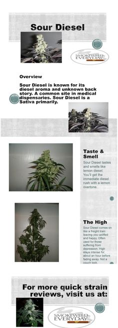 Sour Diesel Quick Strain Review! Visit Us at SmokeWeedEveryDay.Org for More Fun with #Ganja