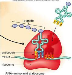 tRNA matching up with mRNA